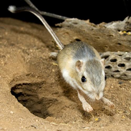 Kangaroo rat Facts  Softschoolscom