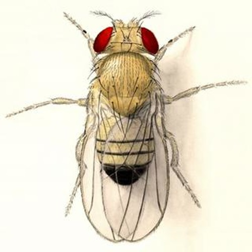 an analysis of drosophila melanogaster by thomas hunt morgan Morgan's students, calvin bridges, provided just that as proof of the chromosomal theory of inheritance bridges first published his work in 1913 as a short paper in.