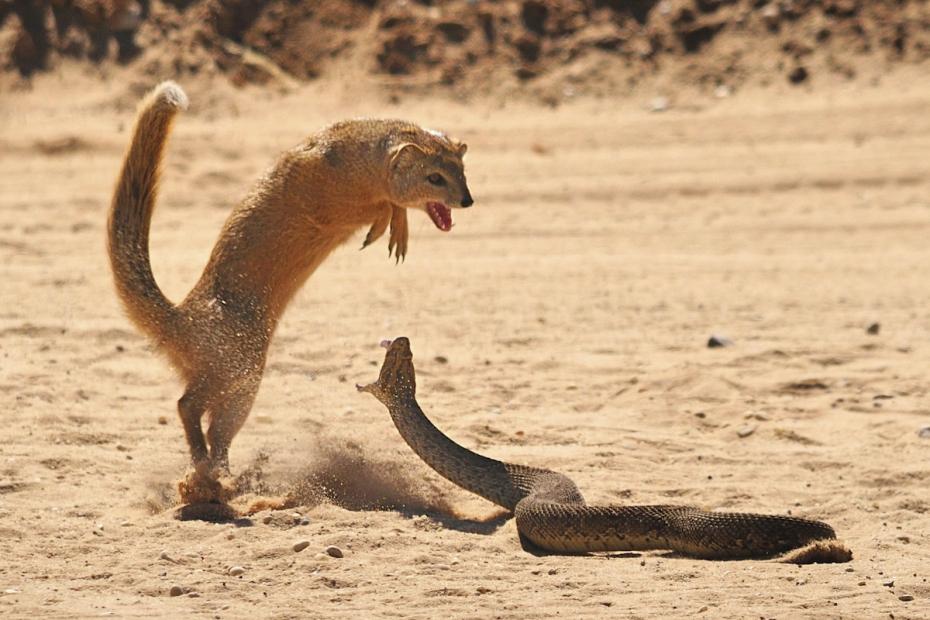 мангуст ловит змей