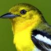 Suara Burung Sirpu