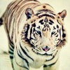 White Tiger Remix by FlicFlac