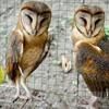 Burung Hantu - Darrelmix
