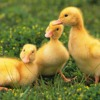 Chicken Dance. Танец маленьких утят
