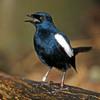 Suara Burung Kacer Gacor