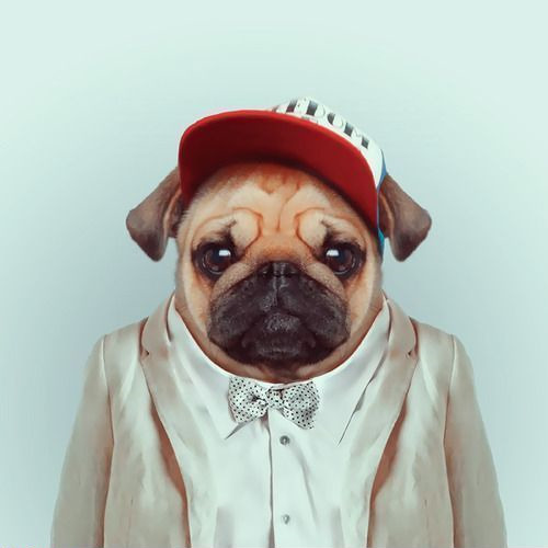 Pug Dog Breed Information Pictures Characteristics