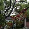 [bivouacrecording] Wen Miao Temple Tree