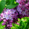 01 Lilacs from Canada