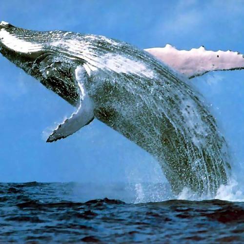 Stickybuds - Whalestep