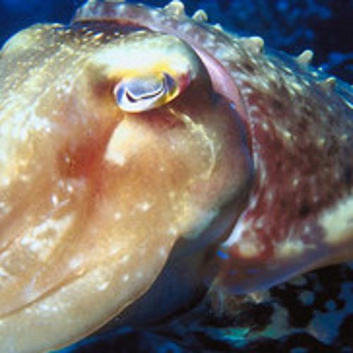 Cuttlefish (clip)