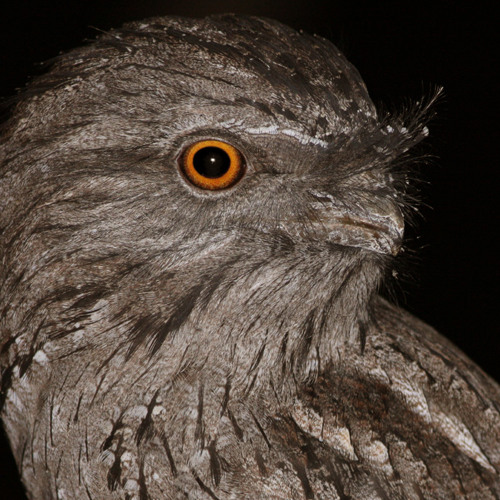 Tawny Frogmouth (from 'An Evening in the Australian Bush' album)