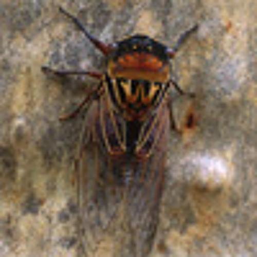 Multi-species cicada chorus in the Australian bush