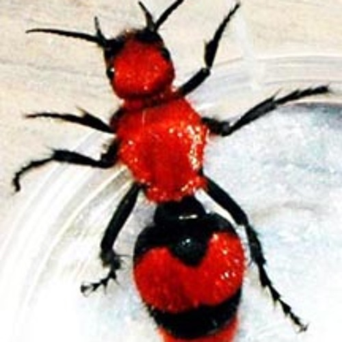 Recording of a Velvet Ant.