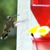 Recording of Hummingbird Feeding.