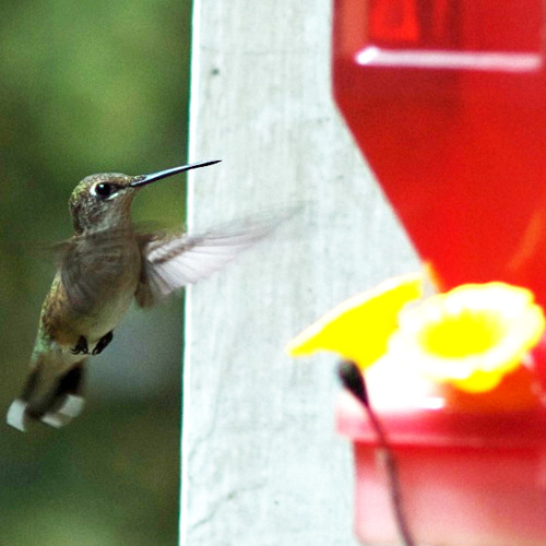 Recording of Hummingbird Feeding.