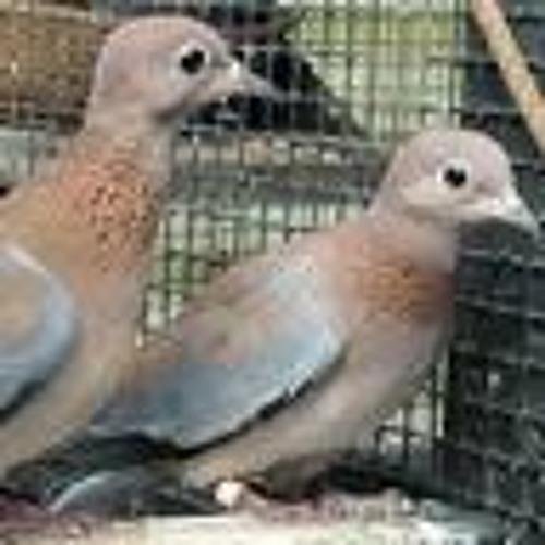 Senegal doves