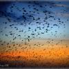Starling sky