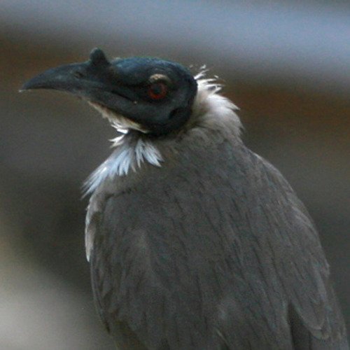 Chattering song of a Noisy Friarbird