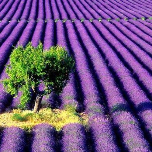 Fable - Lavender Fields (Free Download)