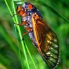 The year of the Cicada and the end of September's reign