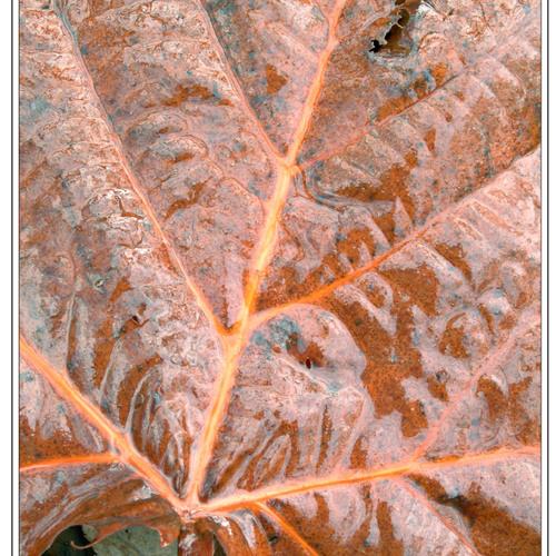 November Sycamore Leaf
