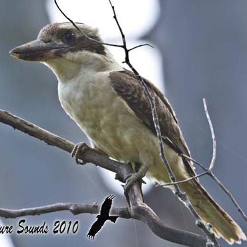 Laughing Kookaburra - Dacelo novaeguineae