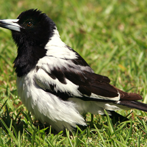 Pied Butcherbird singing at dawn, Darwin, NT