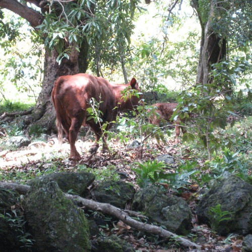Cattle in the Woods