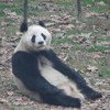 Ras-panda