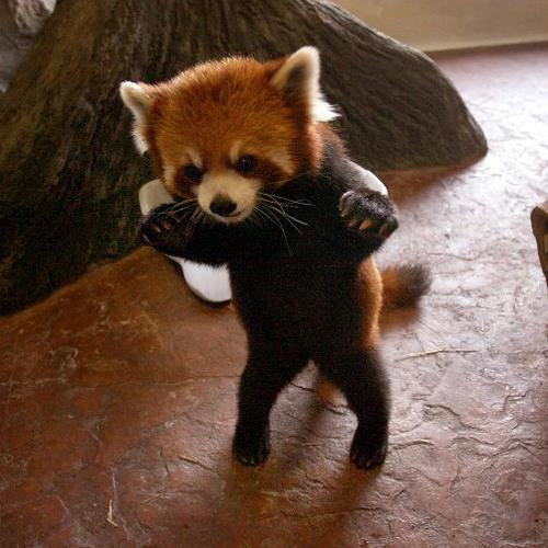 Danger-baby-red-panda-28656-12