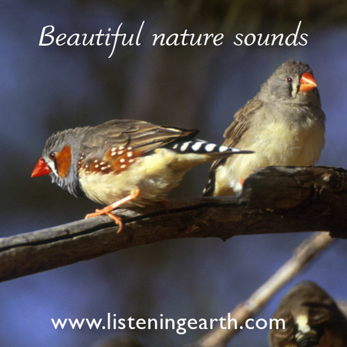 Zebra Finches in the outback