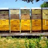 where does the honeybee live?