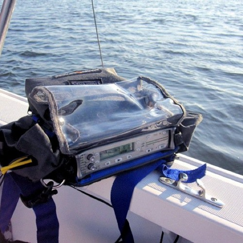 Hydrophone Recordings of Dolphins, Shrimp Feeding, and Hypostomus Plecostomus Fish