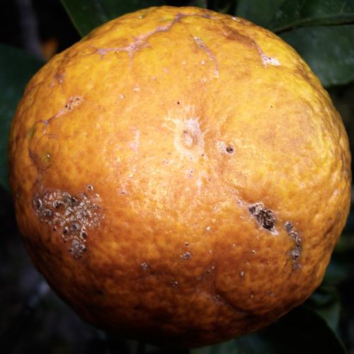"""Rotten Naranja - """"The Return"""""""