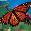 ALexander Lee- Butterflies (Alana lee cover)