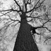 Cem Karaca - Ceviz Ağacı