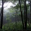 Sayama Rain 1 / Bird in the background of Light Rain at Totoro's Forest 雨の早朝