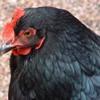 black chicken dance - like a g6 - mashup - Dj Halexandre Sylvestres