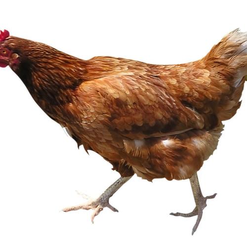 Chicken Sucker