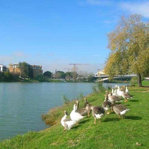 Geese, Guadalquivir river, Sevilla, Spain