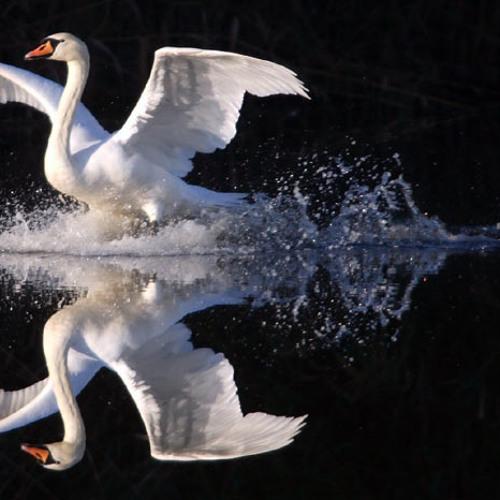 Shakes - Swan Lake