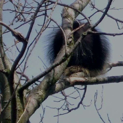 Porcupine in October Sycamore (with The Theme, Assorted Wildfowl and Skippool Creek)
