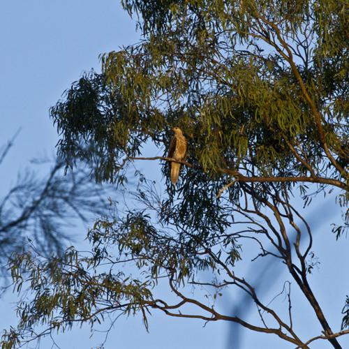 Whistling Kite - Haliastur sphenurus