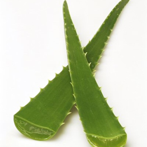 Piqure d'agave