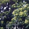 Cicadas' song  at Alsos Ktimatos Sygrou (Αλσος Κτήματος Συγγρού)