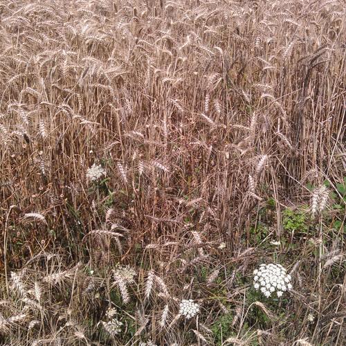 Rye Cracking In The Fields Of Bretagne