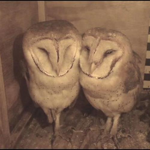 Tyto alba