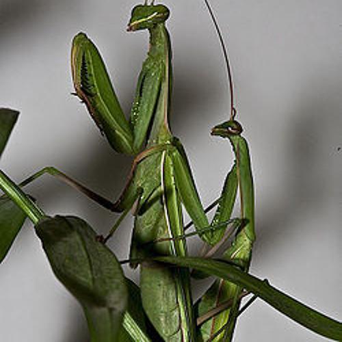 Mantis (guitars by Diego Torres)