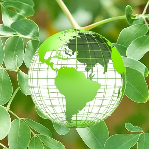 How to Personally Benefit from Moringa