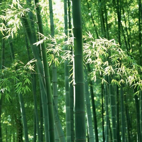 los panda - bamboo