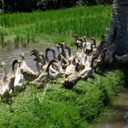 Bebek (Bali Ducks) by Diederik de Jonge